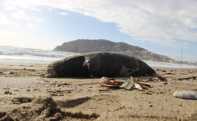 Alanya'da ölü Akdeniz foku sahile vurdu