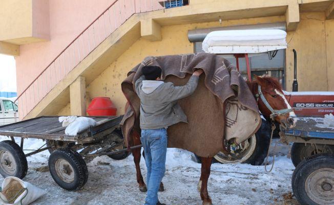 Ağrı'da atlar battaniye ile soğuktan korunuyor
