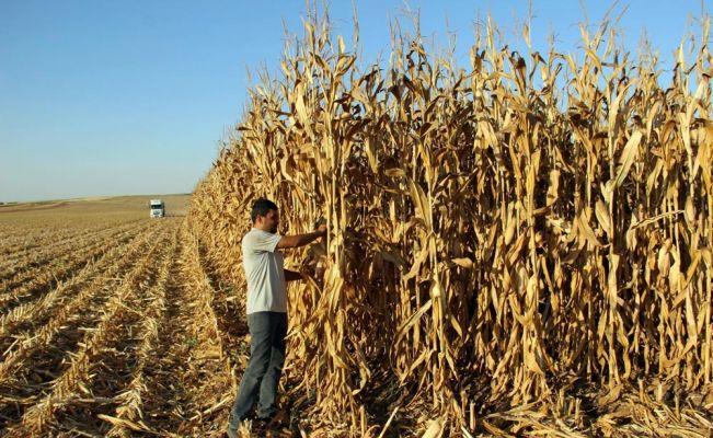 Çiftçiler mısır hasadında da umduklarını bulamadı
