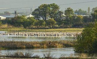 Ak pelikanların en önemli dinlenme alanlarından biri keşfedildi