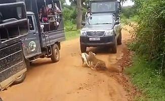 Leopar köpeğe böyle saldırdı