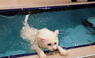 Van kedileri artık yüzebilecek