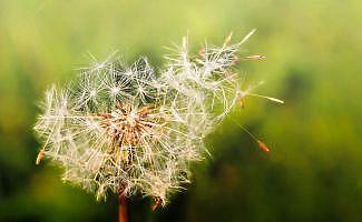 Yaz geldi, polen alerjisine dikkat