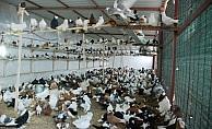 İzmir'de icralık olan güvercinleri banka aldı