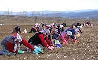 Taşköprü sarımsağının ekimine başlandı