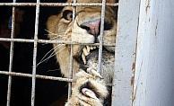 Futbolcu Samuel Eto'o'nun ismi aslana verildi