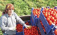 Çanakkale domatesi bu yıl adeta dip yaptı