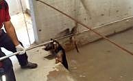 Suda mahsur kalan köpek böyle kurtarıldı