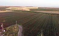 Diyarbakır'da pamuk hasadı başladı