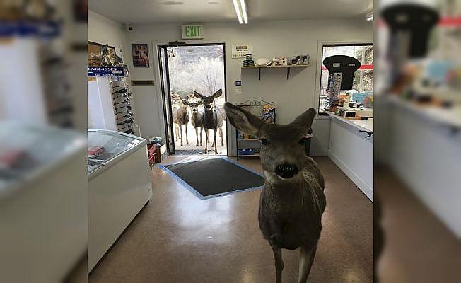 Markette çikolata verilen geyik ailesini de getirdi