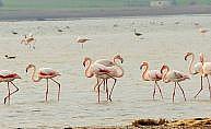 Binlerce flamingo Bodrum'a akın etti